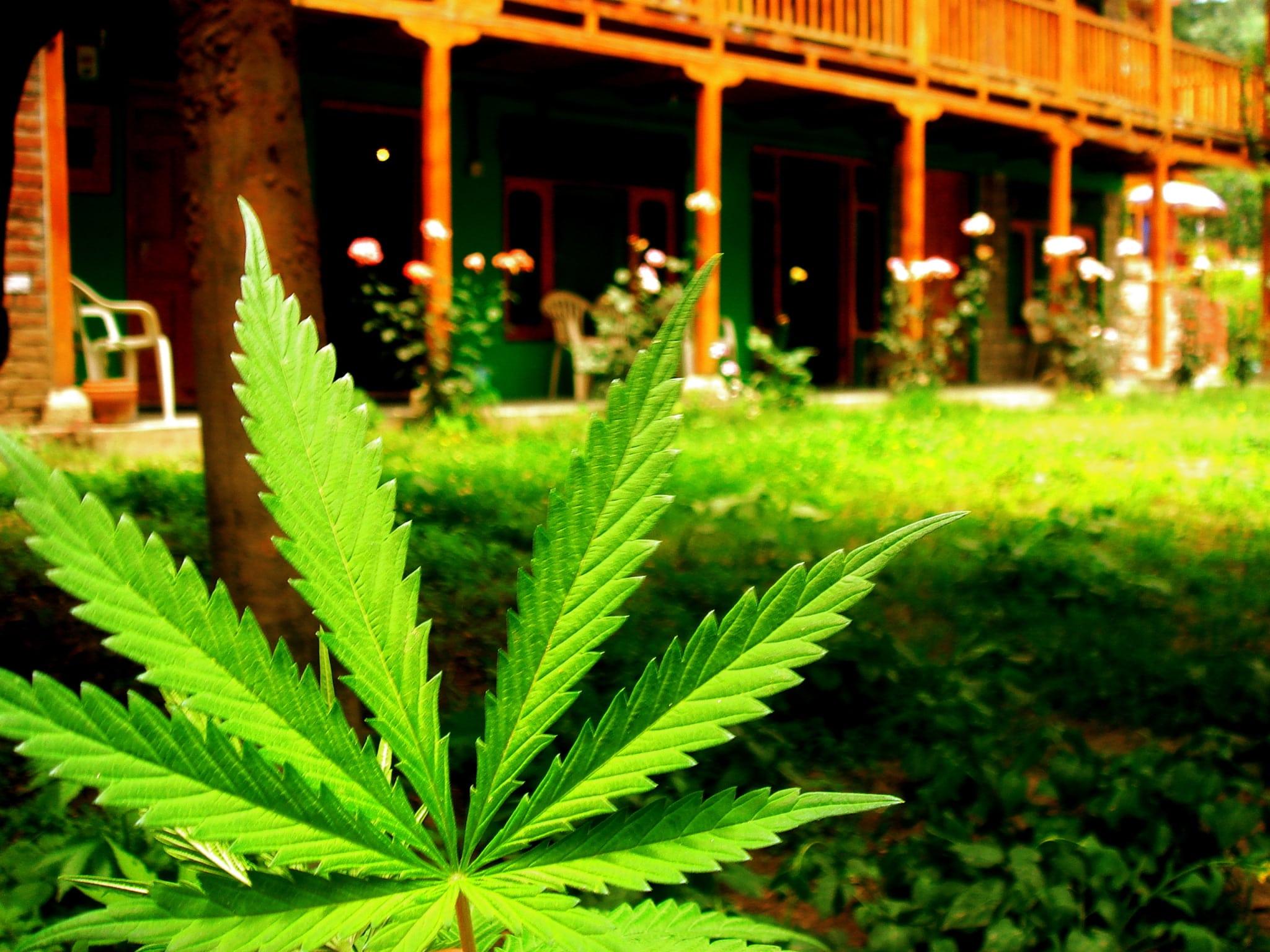 Marijuana_leaf_at_Veer_Guest_House,_Manali_(164703748)